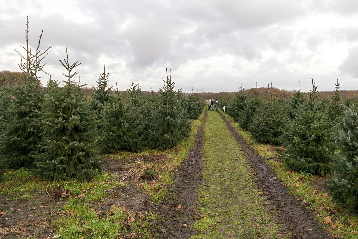 akker met kerstbomen