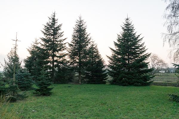 kerstbomen xxl