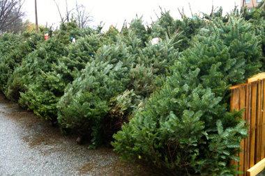 kerstboom gezaagd